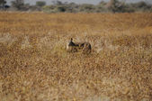 A Cheetah in the Etosha National Park — Stock Photo