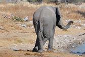 Elephant, Etosha National park, Namibia — Stock Photo
