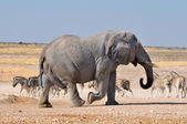 Elephant, Etosha National park, Namibia — Stock Photo