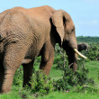 Elephant, Addo Elephant National park, South Africa — Stock Photo