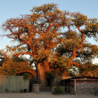 The Ombalantu baobab tree in Namibia — Stock Photo