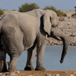 Elephant, EtoshNational park, Namibia — Stock Photo #22474993
