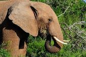 Elefante acqua potabile presso la diga di harpoor — Foto Stock