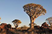 Sunrise at the Quiver Tree Forest, Namibia — Stock Photo