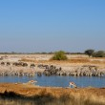 azul ñus, cebras y gacelas del agua potable, okaukeujo w — Foto de Stock   #22493723