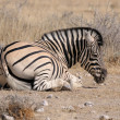 Stock Photo: Zebrlying down, Etosha, Namibia