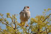 Southern Pale Chanting Goshawk, Melierax canorus — Stock Photo