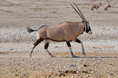 Orix (Gemsbok) running — Stock Photo