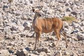 Greater Kudu cow — Stock Photo