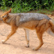 Black-backed, silver-backed or red jackal - Stock Photo