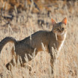 African wildcat — Stock Photo
