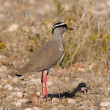 Crowned Lapwing — Stock Photo #22501777