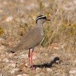 Crowned Lapwing - Stock Photo