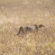 Cheetah in EtoshNational Park 2 — Stock Photo #22505351