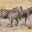Stock Photo: Zebrfoal suckling, Etosha, Namibia