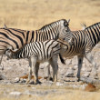 Zebrfoal suckling, Etosha, Namibia — Stock Photo #22507699