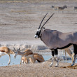 Orix (Gemsbok) and Springbok — Stock Photo