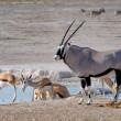 Orix (Gemsbok) and Springbok — Stock Photo