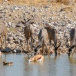 Greater Kudu cows and calves — Stock Photo