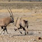 Orix (Gemsbok) fighting — Stock Photo