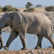 Elephant walking 2 — Stock Photo
