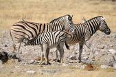 Zebra foal suckling, Etosha, Namibia — Stock Photo