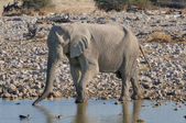 Elephant drinking water — Stock Photo
