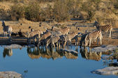 Zebras drinking water — Stockfoto