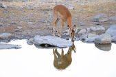 Impala in the Etosha National Park — Stock Photo