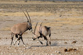 Orix (Gemsbok) fighting — Stock Photo