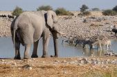 Elefantes y cebras — Foto de Stock