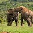 Two Elephants fighting, Addo Elephant National park, South Afric — Stock Photo #22511187