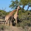 Stock Photo: Two necking Giraffes