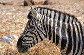 Zebra, Etosha, Namibia — Stock Photo