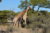 Two necking Giraffes — Stock Photo