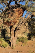 Camelthorn Tree with community nest — Stock Photo