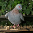 Speckled Pigeon — Stock Photo #22953030