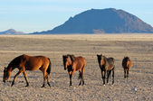 Wild horses of the Namib — Stock Photo