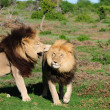 Two Kalahari lions playing in the Addo Elephant National Park — Stock Photo