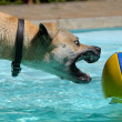 Dog playing with ball — Stock Photo #25818813