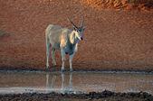 Eland — Foto de Stock