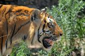 Tiger — Foto de Stock