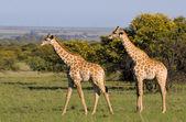 Giraffes 2 — Stock Photo