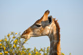 Giraffe, Etosha National Park, Namibia — Stock Photo