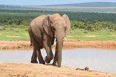 Elefante, parque nacional addo elephant, sudáfrica — Foto de Stock