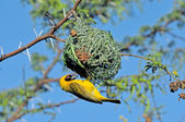 Male Southern Masked Weaver building nest — Stock Photo