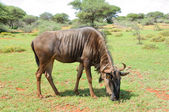 Blue Wildebeest grazing — ストック写真