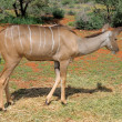 Постер, плакат: Greater Kudu cow