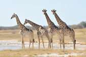Giraffen — Stockfoto