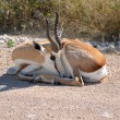 Springbok in the Etosha National Park — Stock Photo #46101053